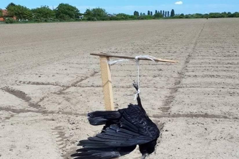 Šokantna fotografija: Vrane vise na polju u Osijeku?